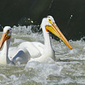 Two Pelicans At Horn Rapids by Jeff Swan
