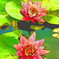Two Pink Blooming Water Lilies  by Jeelan Clark