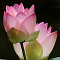 Two Pink Lotus by Sabrina L Ryan