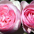 Two Pink Roses by Laurel Talabere
