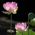 Two Pink Water Lilies by Roy Williams