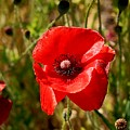 Two Poppies by Sandra Price