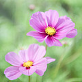 Two Purple Cosmos Flowers by Helen Northcott