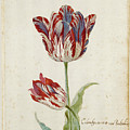 Two Red And White Tulips. Colombijn And Wit Van Poelenburg by Jacob Marrel