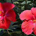 Two Red Hibiscus With Border by Carol Groenen