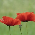 Two Red Poppies And Pod by Barbara St Jean