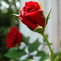 Two Red Roses by Ramona Barnhill
