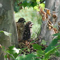 Two Red Shouldered Hawk Chicks Calling Mom  by Joe Lee