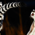Two Ring-tailed Lemurs by Nick Biemans