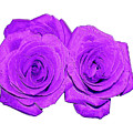 Two Roses Violet Purple And Enameled Effects by Rose Santuci-Sofranko