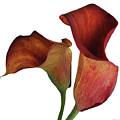 Two Rust Calla Lilies Square by Heather Kirk