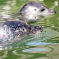 Two Seal Swimming Nature Scene by Goce Risteski