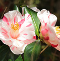 Two Striped Camellias by Carol Groenen