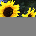 Two Sunflowers by Marilyn Hunt