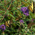 Two Swallowtail Butterflies 2 by Edward Sobuta