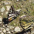Two Swallowtail Butterflies by Charles Robinson