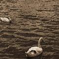 Two Swans by Emmanuel Varnas