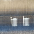 Two Swans In Movement by Karol Livote