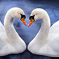 Two Swans by MGL Meiklejohn Graphics Licensing
