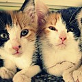 Two Tabby Cat Kittens by Fern Cardinal