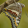 Two Tailed Pasha Butterfly by Lindley Johnson