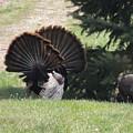 Two Tom Wild Turkeys Sparring To Impress A Hen by Joe Lee