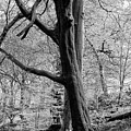 Two Trees In Spring - Mono by Philip Openshaw
