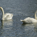 Two Trumpeter Swans At Oxbow Bend by Belinda Greb