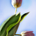 Two Tulips by Camelia C
