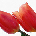 Two Tulips With Watercolour Effect by Marion McCristall