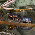 Two Turtles by Donna Cavanaugh