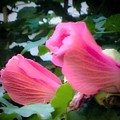 Two Unopen Pink Hibiscus Flowers by Debra Lynch