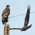 Two Views Of A Juvenile Bald Eagle by Belinda Greb
