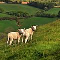 Two Welsh Lambs by Vicki Lea Eggen