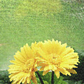 Two Yellow Gerber Daisies by Catherine Cairns-OKeefe