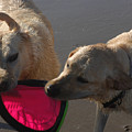 Two Yellow Labs Tug At The Frizbee by Stacy Gold