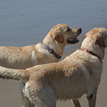 Two Yellow Labs Wait In Anticipation by Stacy Gold