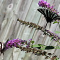Two Zebra Swallowtail Butterflies by Shannon Louder