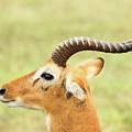Ugandan Kob In Profile by Tom Broadhurst