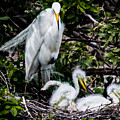 Ugly Ducklings Egret Style by Susan Molnar