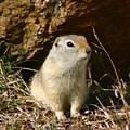 Uinta Ground Squirrel by Perspective Imagery