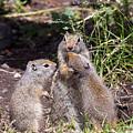 Uinta Ground Squirrel Family by Michael Chatt