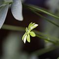 Umbrella Plant by Steven Dunn