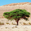 Umbrella Thorn Acacia, Negev Israel by Ilan Rosen