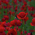 Umbria  Poppies 2 by Roger Mullenhour