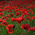Umbria  Poppies 3 by Roger Mullenhour