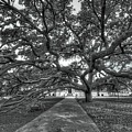 Under The Century Tree - Black And White by David Morefield