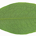 Underside Of A Coca Leaf, Erythroxylon by Ted Kinsman