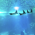 Underwater Manta Background by Benny Marty