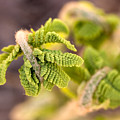Unfolding Fern Leaf by Louise Heusinkveld